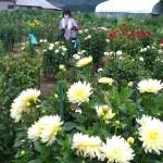50品種700株、秋を告げるダリアが咲き始める
