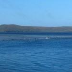 浅瀬に小型クジラ250頭が打ち上げられる