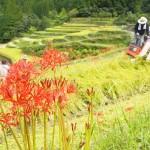 収穫の秋、黄金色の稲穂と真っ赤な彼岸花が競演
