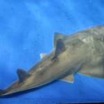 鹿児島市の「かごしま水族館」のエイ、実は新種
