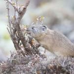 餌集めに奔走、エゾナキウサギが冬支度