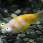 新品種の金魚 「サクラチョウテンガン」 初出荷へ