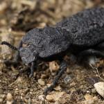 東京農工大など、頑丈な甲虫の外骨格の謎を解明
