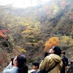 鳴子峡の紅葉が終盤、大勢の観光客でにぎわう