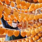 丸森町特産の「ころ柿」作りが最盛期を迎える
