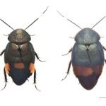 ルリゴキブリ類の新種、新たに南西諸島で発見