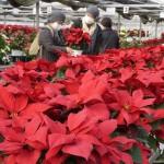クリスマスを彩る1万5000鉢のポインセチア