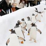 ペンギンが往復200mの雪道をよちよちと行進