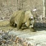 野生のジャイアントパンダ、馬糞で寒さしのぐ