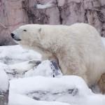 36歳の国内最高齢ホッキョクグマ「ナナ」死ぬ