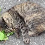 ネコが好むマタタビに蚊よけの効果を確認