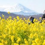 満開の菜の花6万株と雪化粧した富士山の競演