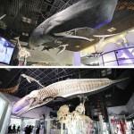 長さ14m、マッコウクジラの標本を常設展に