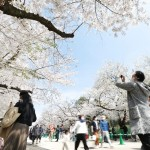 東京都内の桜が満開、名所は花見客でにぎわう