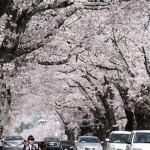 福島県富岡町「夜の森の桜」が見頃を迎える