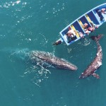 コロナ感染者が減少、コククジラに癒される