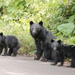 環境省、手引に市街地でのクマ出没対策を追加