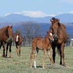 「サラブレッド銀座」では競走馬の出産がピーク