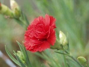 「母の日」にプレゼントされるカーネーション(ウィキぺディアから)