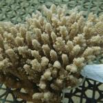 OISTの研究でサンゴ白化現象の歯止めに光明