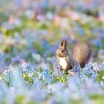 エゾリスとエゾエンゴサクの淡い青の花が共演