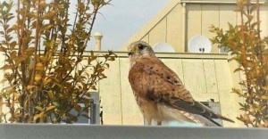 若い鷹が当方宅の部屋の窓に挨拶に来た日