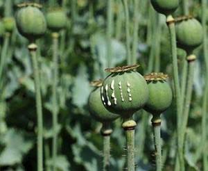 アヘンはケシの実から採取した果汁を乾燥して生産する(ウィキぺディアから)