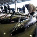 メカジキを入念にチェックする仲買人ら =2012年3月1日、気仙沼市魚市場