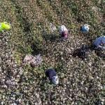 中国・新疆ウイグル自治区の畑で綿花を収穫する人々=2018年10月撮影(AFP時事)