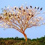 パンタナール名物「鳥のなる木」、鳥たちは夜になると川べりの木に休みに来る(夜7時半)