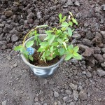 生分解のプラスチック鉢を付けたアンププの苗木
