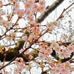 暖冬ベルリンで日本の桜が満開