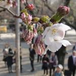 気象庁が東京での桜開花を発表、高知は満開