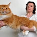「メーンクーン」という品種、自慢の猫