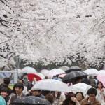 東京都心でソメイヨシノが満開