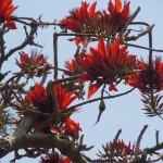 沖縄県の県花「デイゴ」が開花