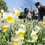 葛西臨海公園でかれんに咲くスイセン