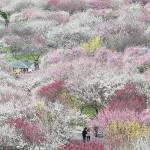100種類4500本、色鮮やかな梅林が見ごろ