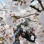 50種類800本、上野公園の桜がほぼ満開に