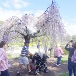 南半球で桜祭り、5キロの並木も見頃
